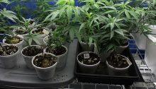 Wikimedia Commons/Cannabis Training University